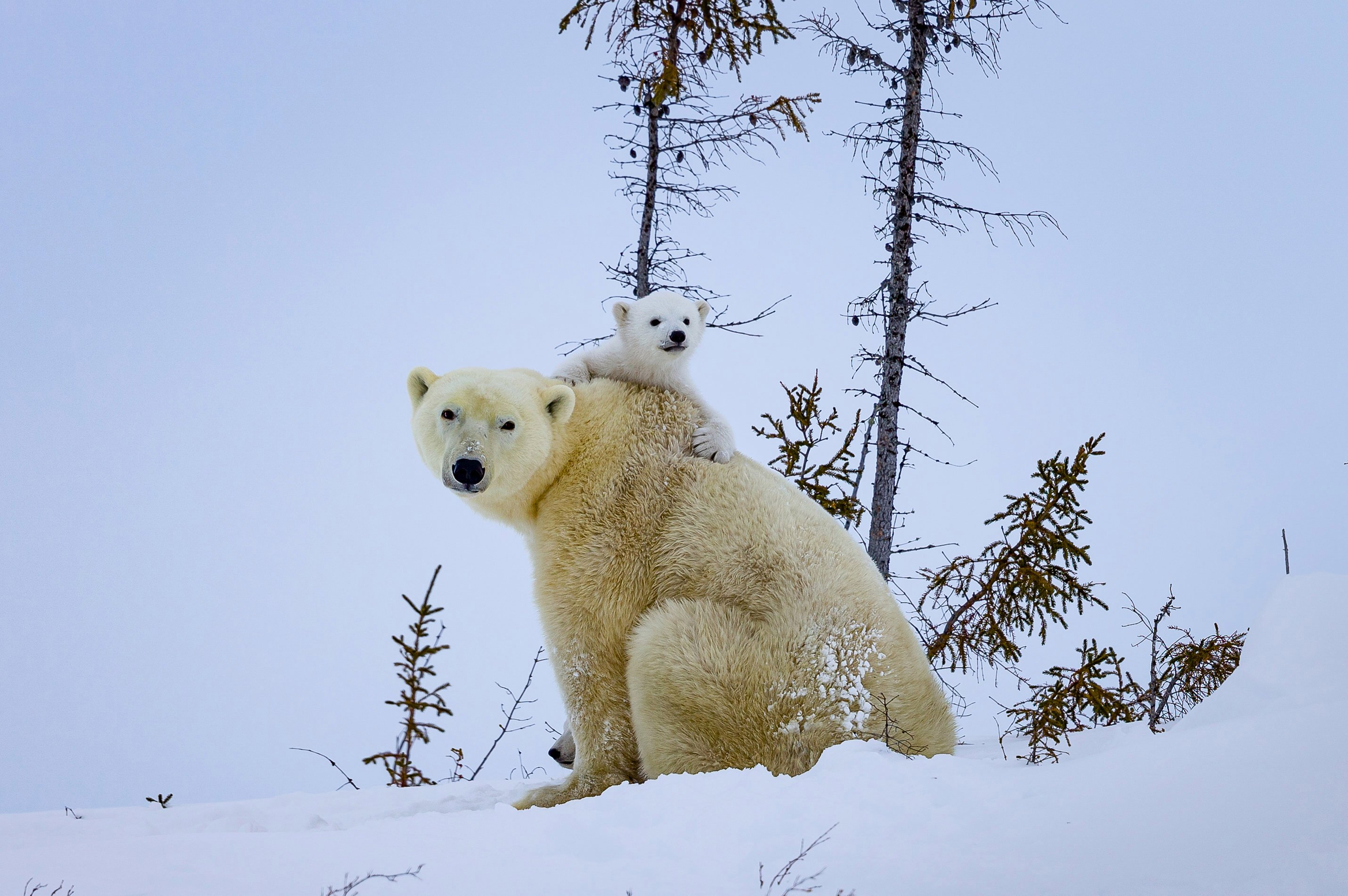 The photographer described the cubs as about the size of a West Highland Terrier