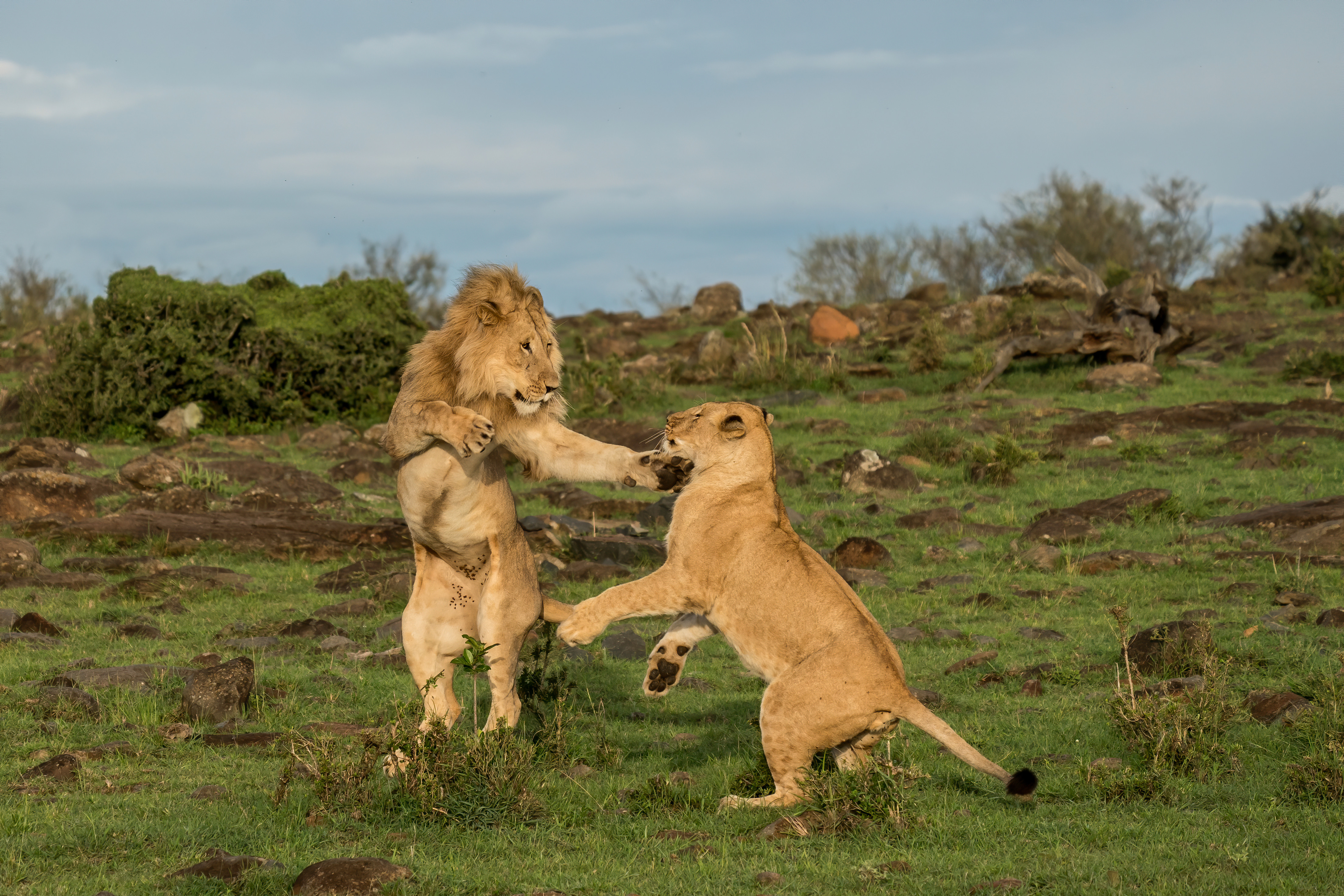 Photographer Kevin Rooney documented the scene in the Mara North Conservancy in November