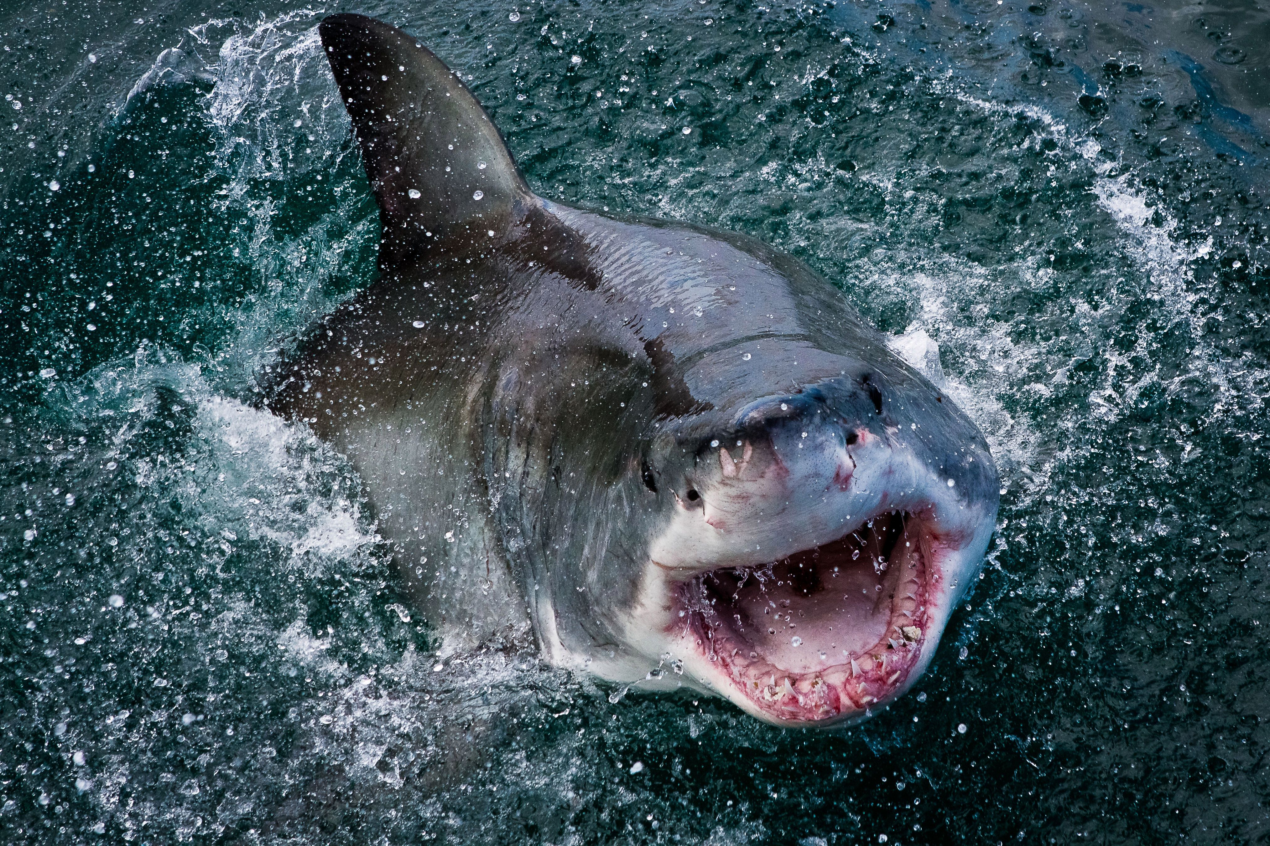 The shark's battle scars can be seen on its nose as it writhes in the water