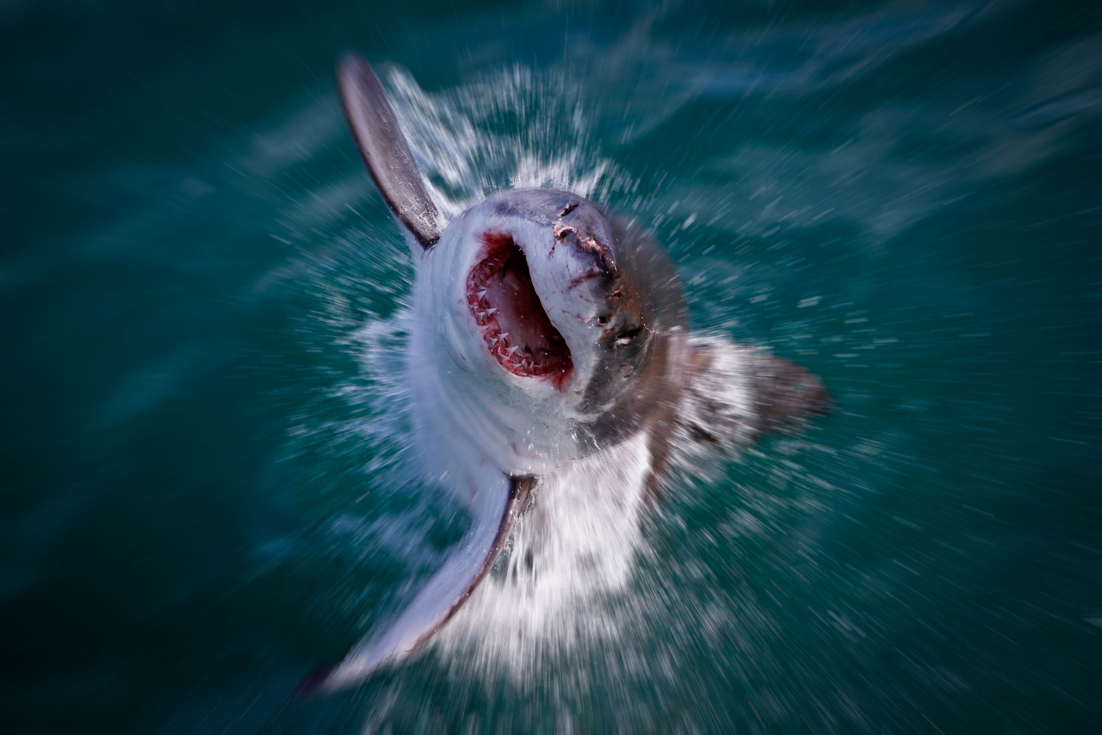 The great white shark rises out of the waves towards the camera