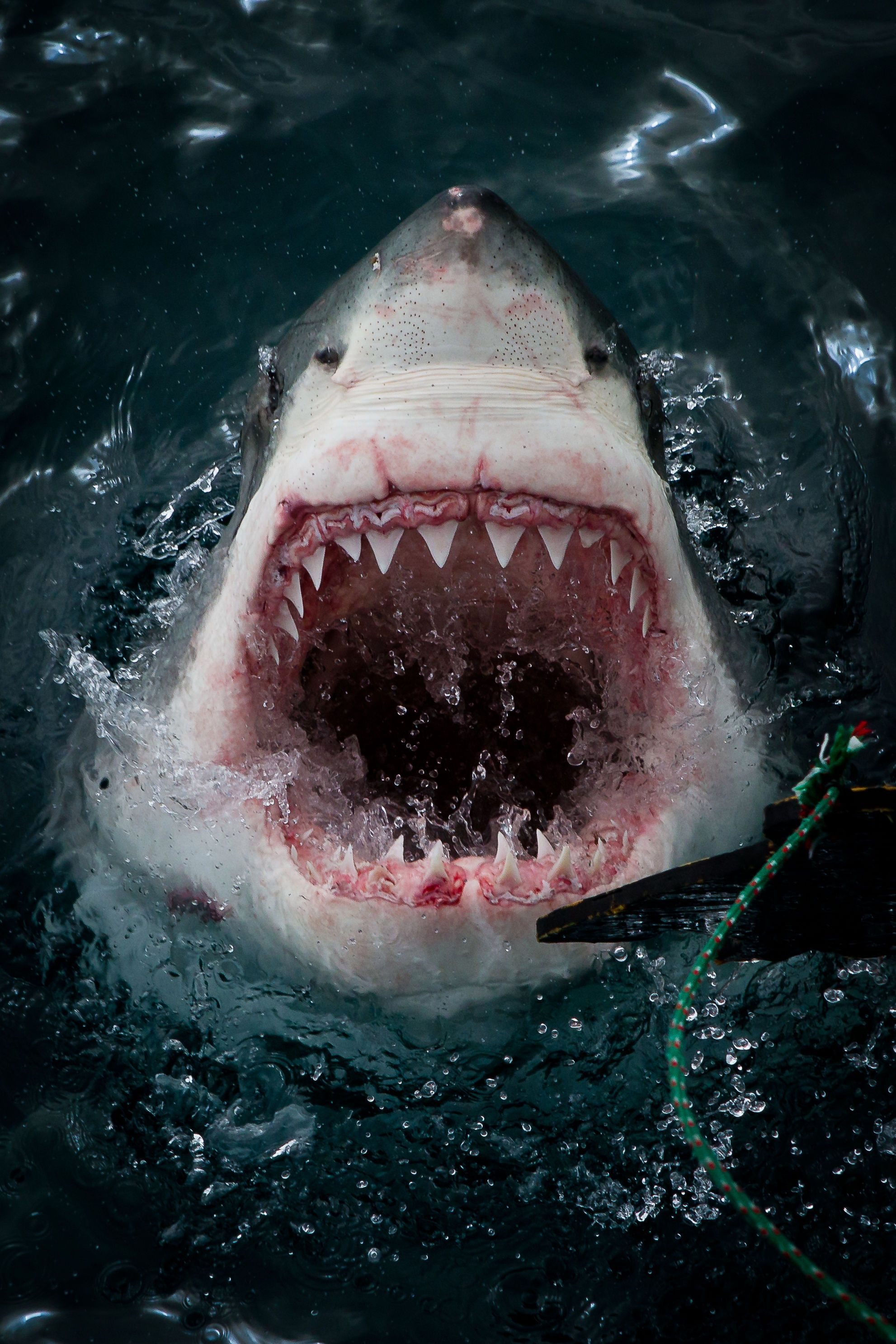 Opening wide for the camera as the shark shows off its teeth