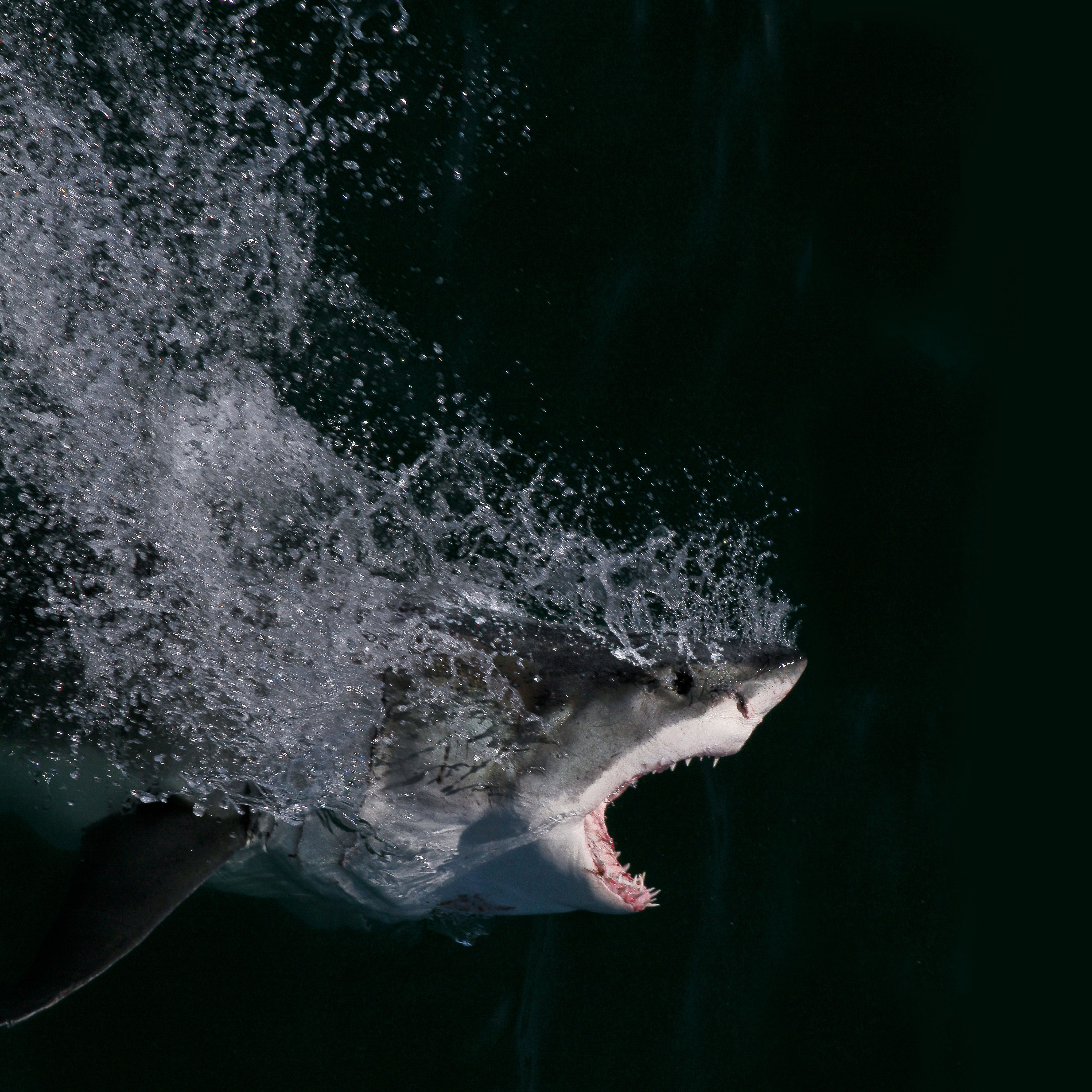The great white scythes through the water with its jaws open wide