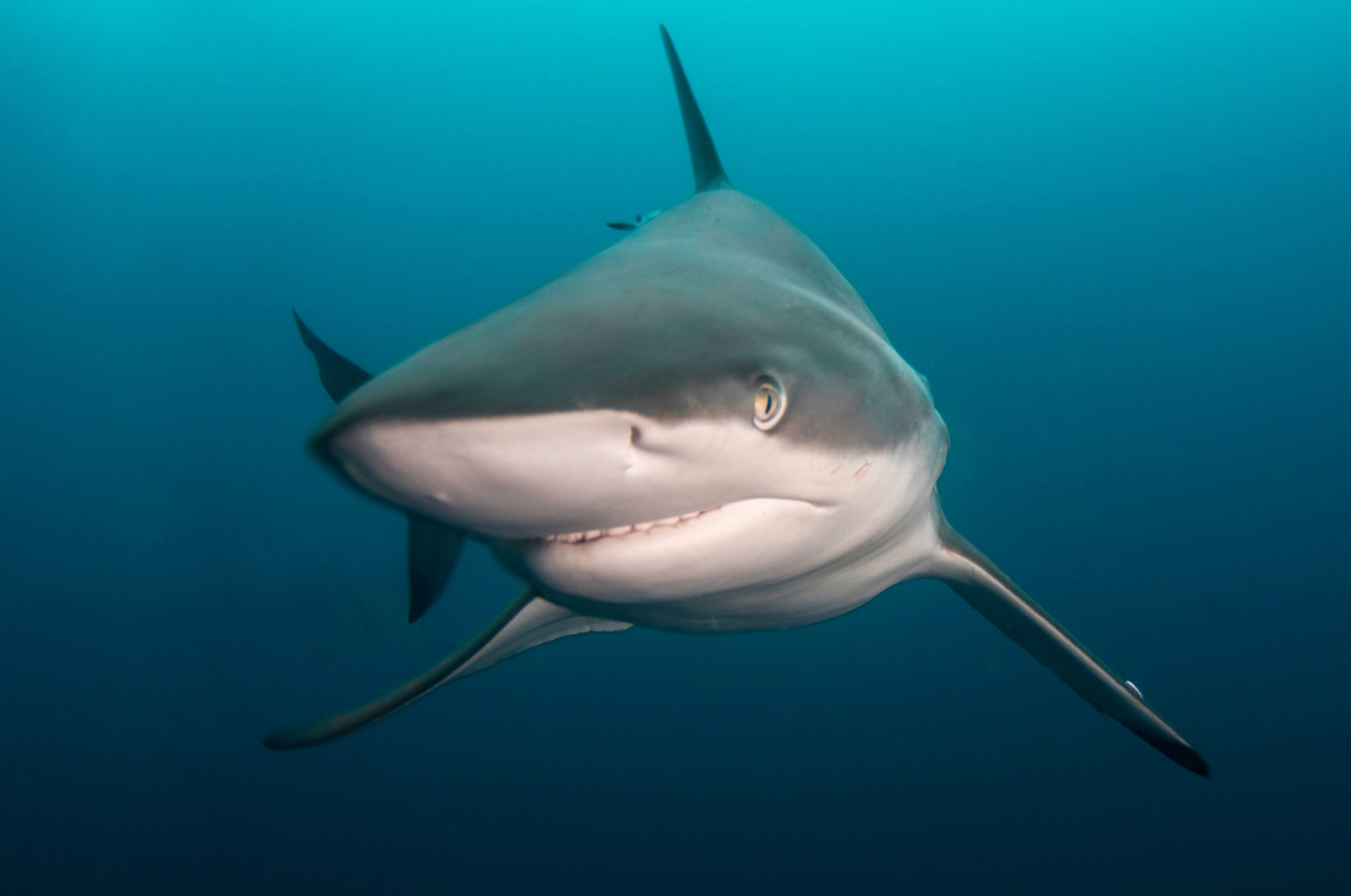 The blacktip shark strikes a pose as it stares into the camera